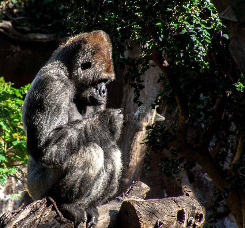 有趣的大猩猩坐一个老分支 图库摄影
