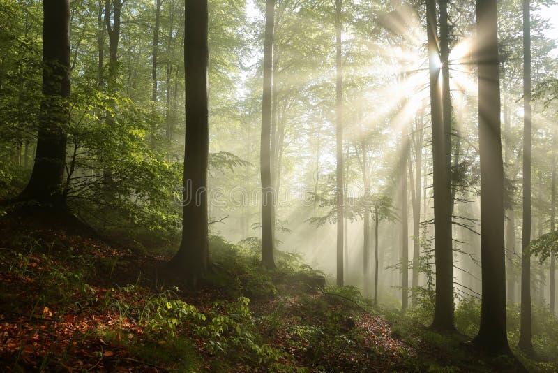 有薄雾的秋天山毛榉森林在阳光下 库存图片