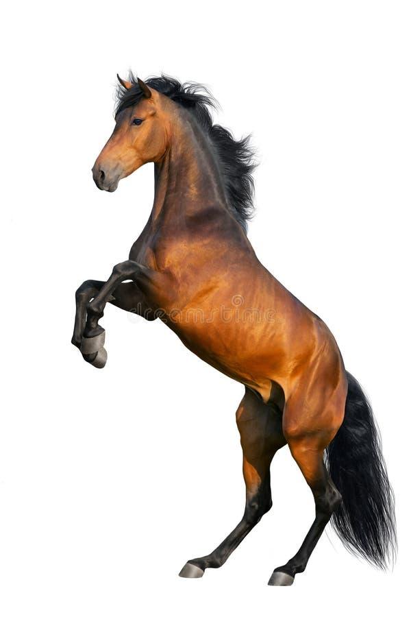 抚养海湾的马 免版税库存照片