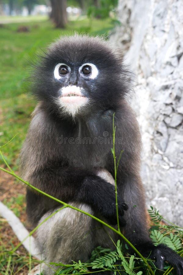 暗淡的叶子叶猴猴子 免版税库存图片
