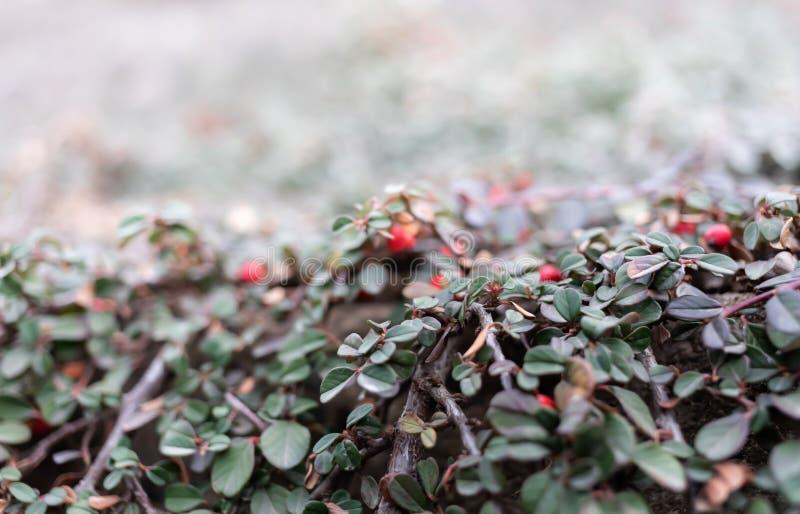 枸子属植物红色莓果  库存照片