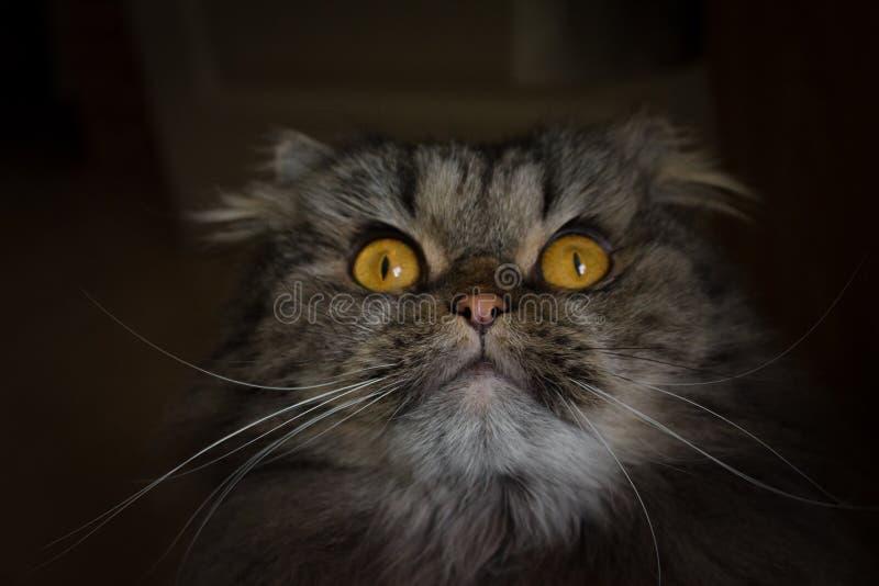 惊奇的机警的灰色scotish猫画象与查寻大橙色的眼睛的 免版税库存图片