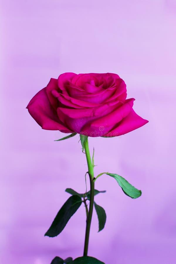 情人节,桃红色在与拷贝空间的桃红色背景上升了隔绝 免版税库存图片