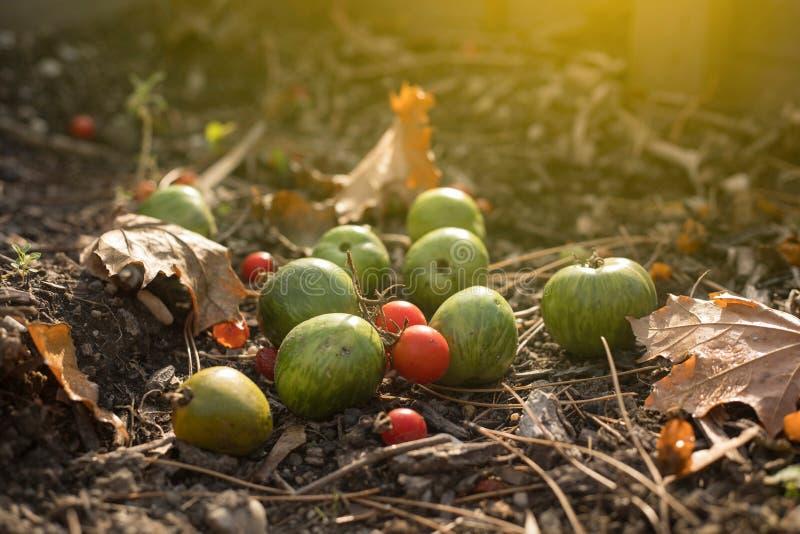 成熟和未成熟的蕃茄在Autunum庭院里 免版税库存图片