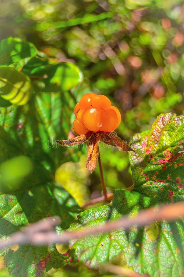 成熟莓果野草莓在森林里增长 免版税库存图片