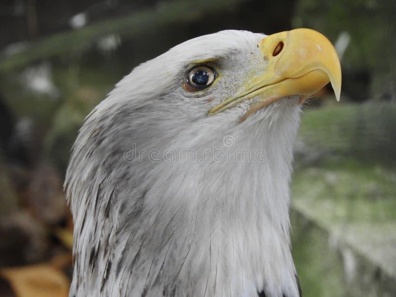 我们的军事,象白头鹰站立'对天空的眼睛' 库存照片