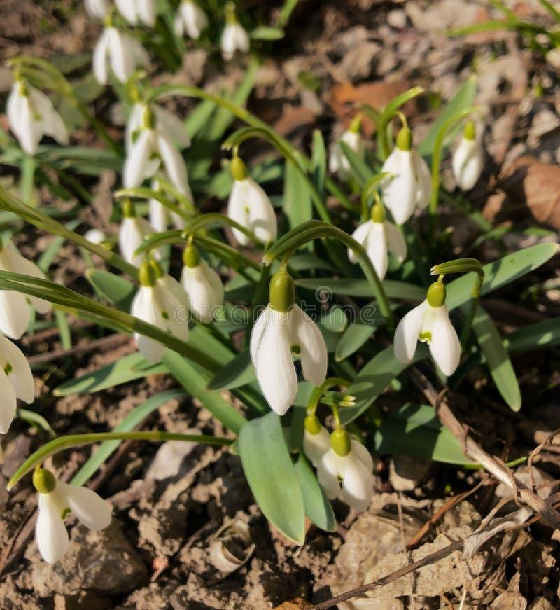 春天开花在晴天的snowdrop花 免版税库存照片