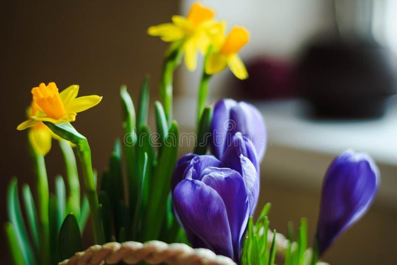 春天开花紫罗兰色番红花和黄色水仙在篮子特写镜头 库存图片