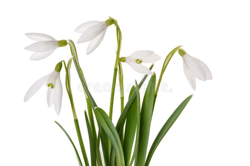 春天开花snowdrops,隔绝在白色背景 库存照片