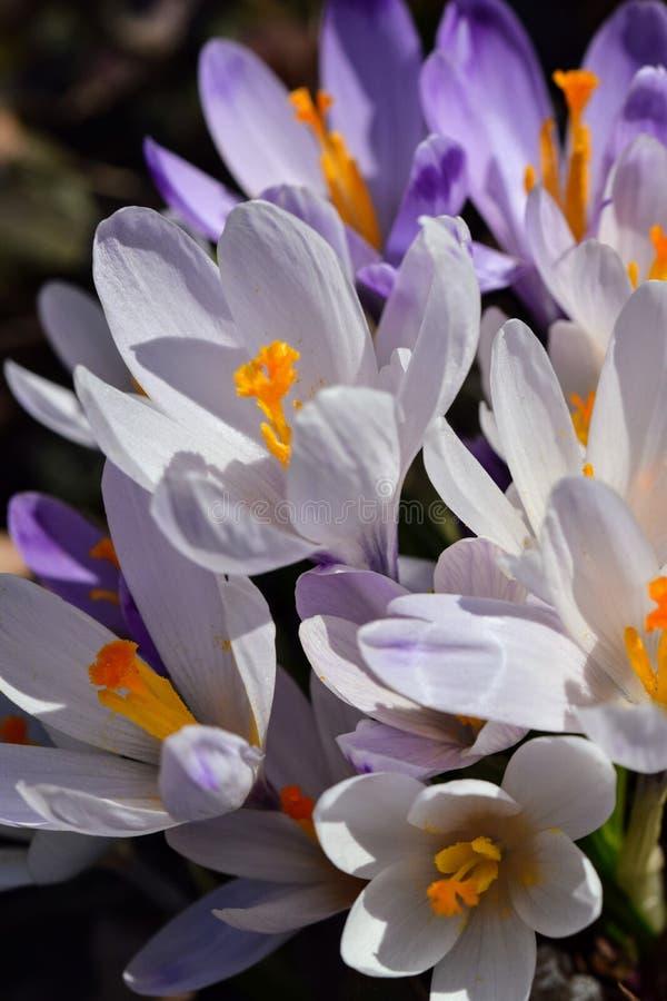 春天的番红花信使 免版税库存照片