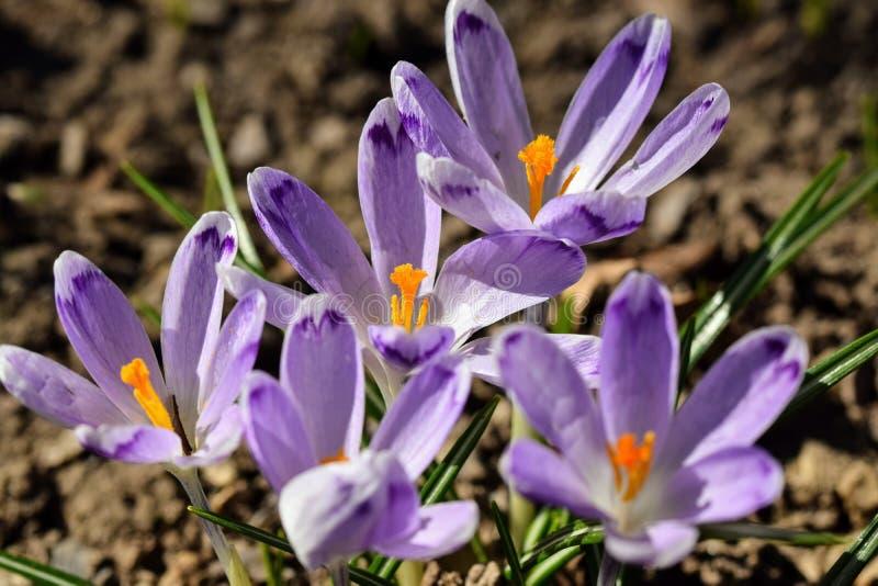 春天的番红花信使 免版税图库摄影