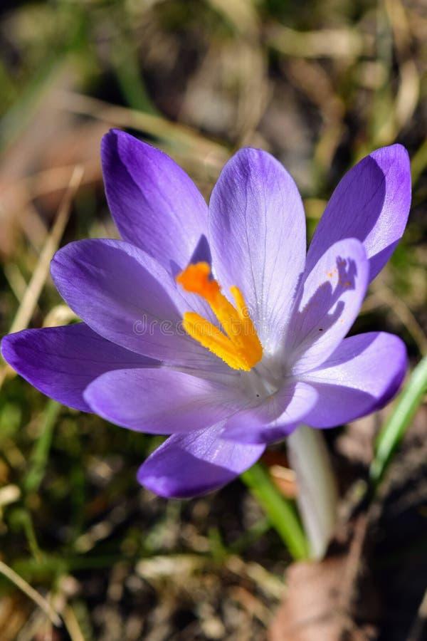 春天的番红花信使 免版税库存图片