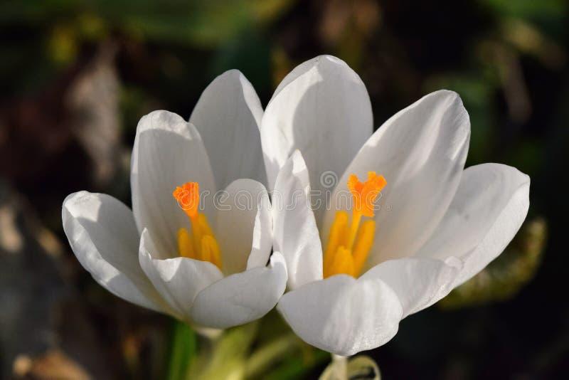 春天的番红花信使 库存照片