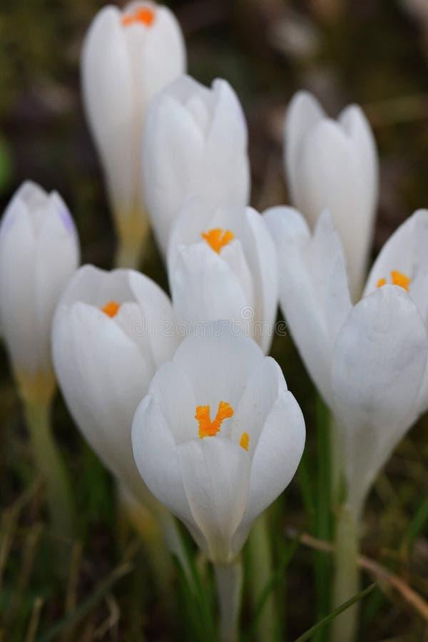 春天的番红花信使 图库摄影