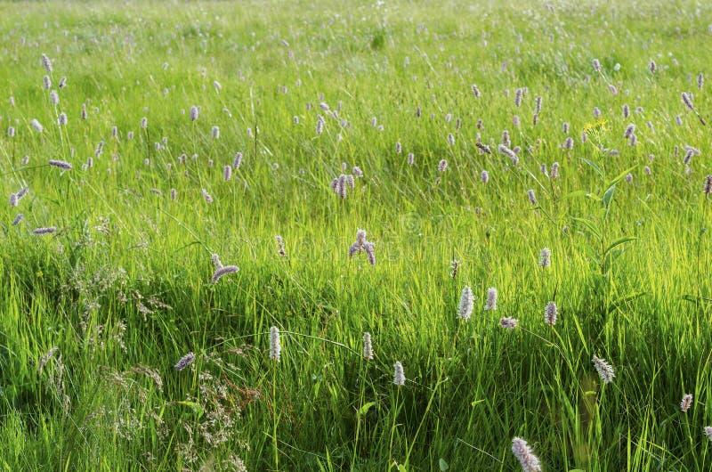 春天豪华的水多的草本反弹豪华的水多的草本 免版税库存图片