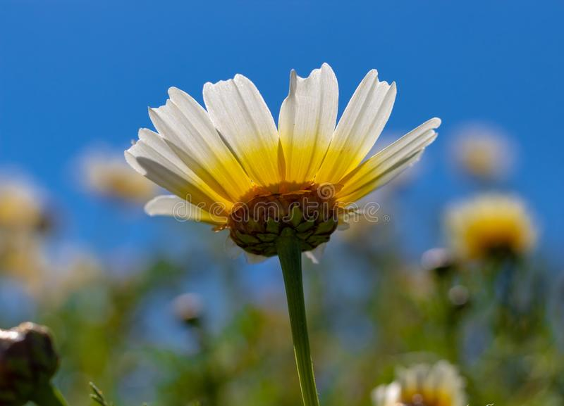春天花在马略卡 库存图片