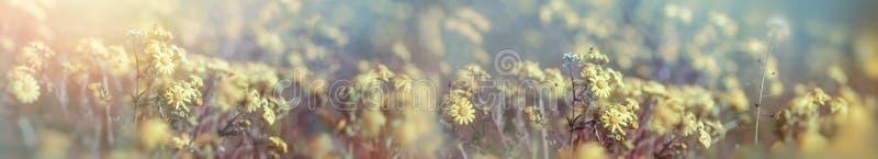 春天,开花的黄色花在草甸 库存图片