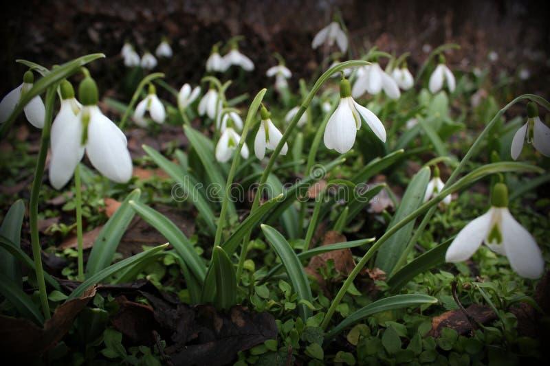 春天snowdrops绽放,浪端的白色泡沫百合增长 免版税图库摄影