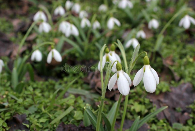 春天snowdrops绽放,浪端的白色泡沫百合增长 免版税库存照片
