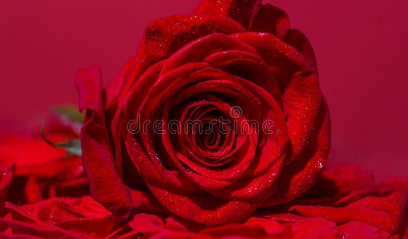 明亮的红色玫瑰为情人节 在花店的玫瑰 红色玫瑰绽放 瓣上升了 花红色上升了 关闭红色 免版税图库摄影