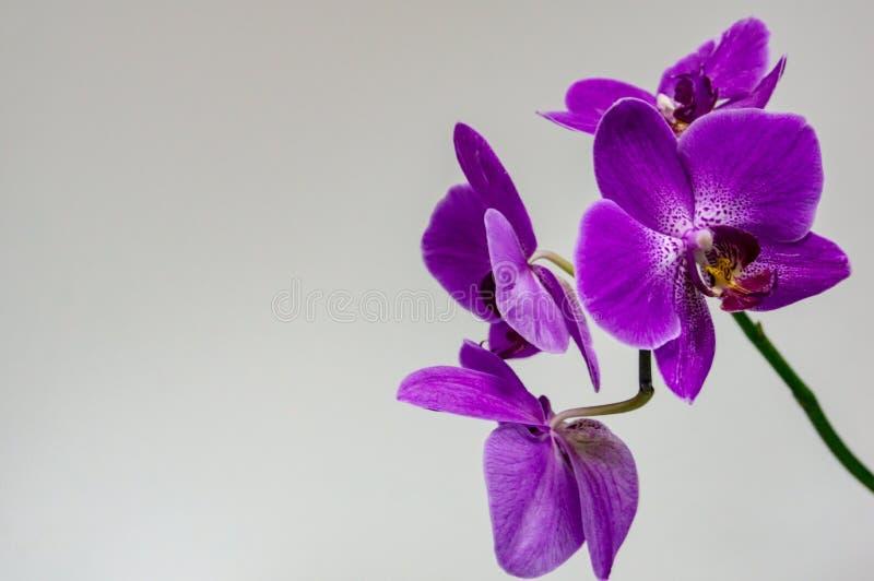 明亮的紫色兰花植物兰花花美好的分支,叫作蝴蝶兰或Phal, 库存照片