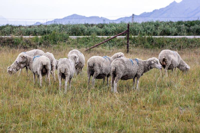明显的绵羊牧场地  免版税图库摄影