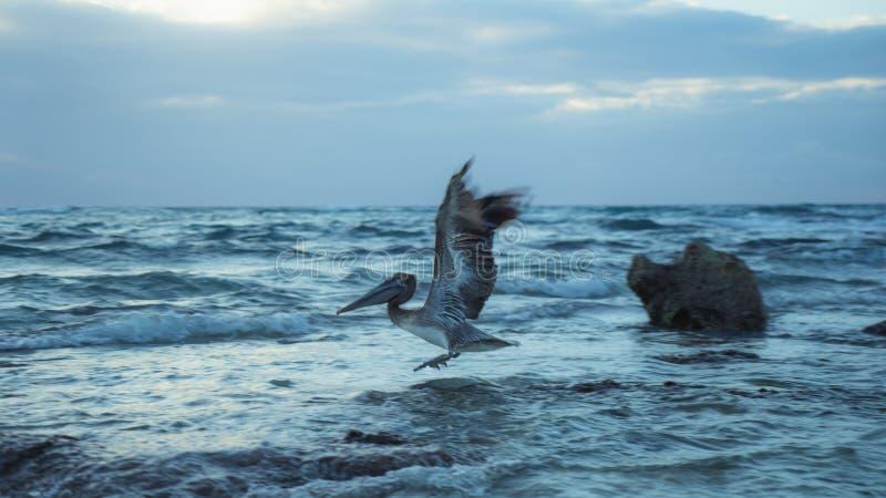 日出墨西哥的鹈鹕飞行 库存图片