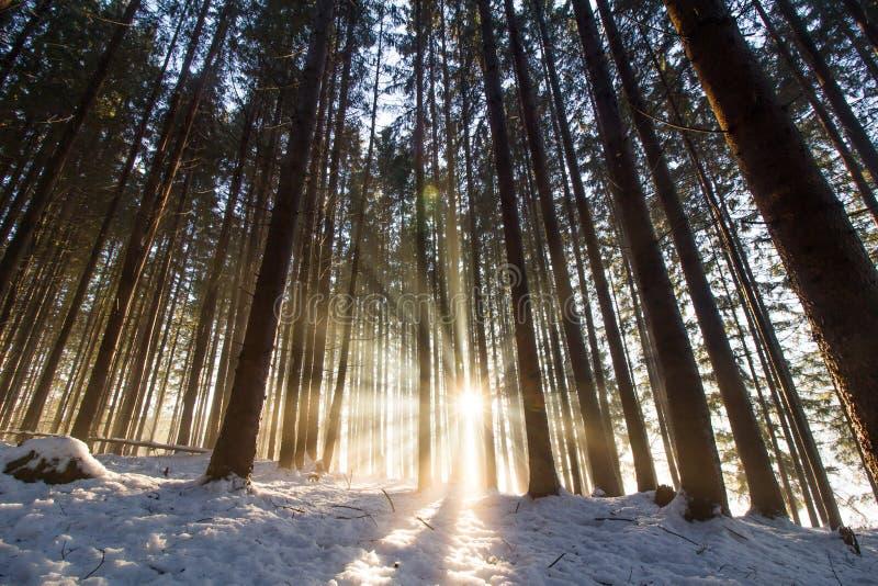 日落在冬天森林里:光束和阴影,积雪 库存图片