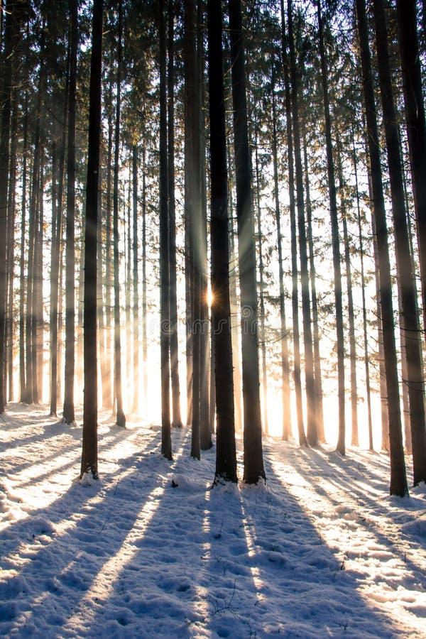 日落在冬天森林里:光束和阴影,积雪 免版税库存图片