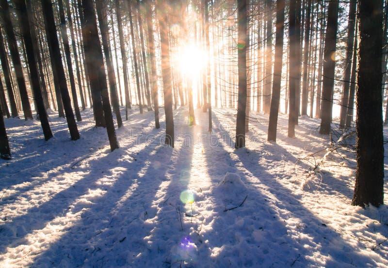 日落在冬天森林里:光束和阴影,积雪 图库摄影