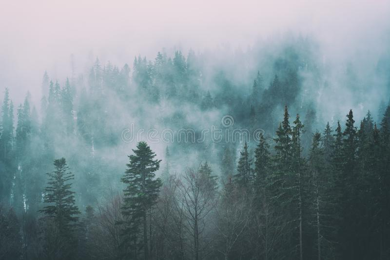 早期的春天的有薄雾的喀尔巴阡山脉的云杉的森林 图库摄影