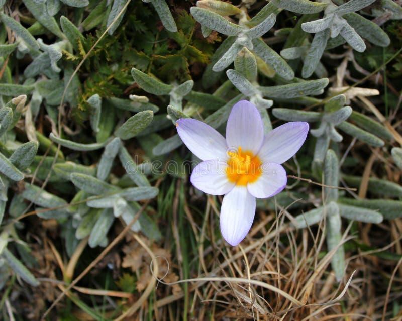 早期的春天花紫色番红花,青紫罗兰色山花 图库摄影