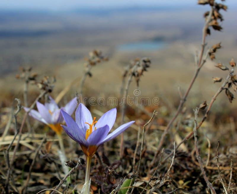 早期的春天花紫色番红花,青紫罗兰色山花 免版税库存照片