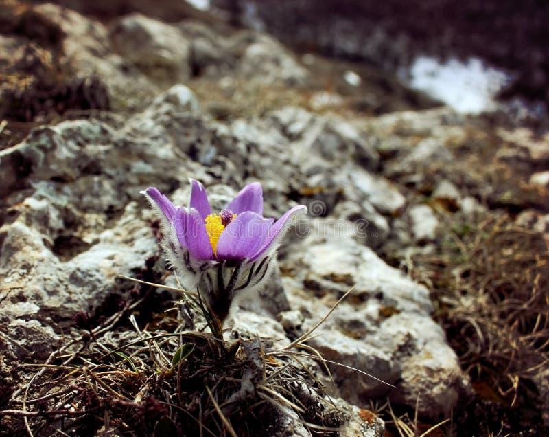 早期的春天花紫色番红花,青紫罗兰色山花 免版税库存图片
