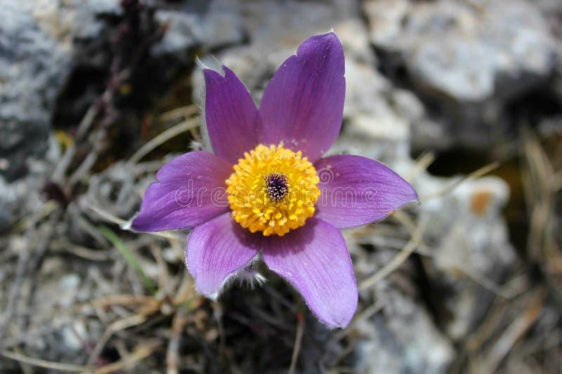 早期的春天花紫色番红花,青紫罗兰色山花 库存图片