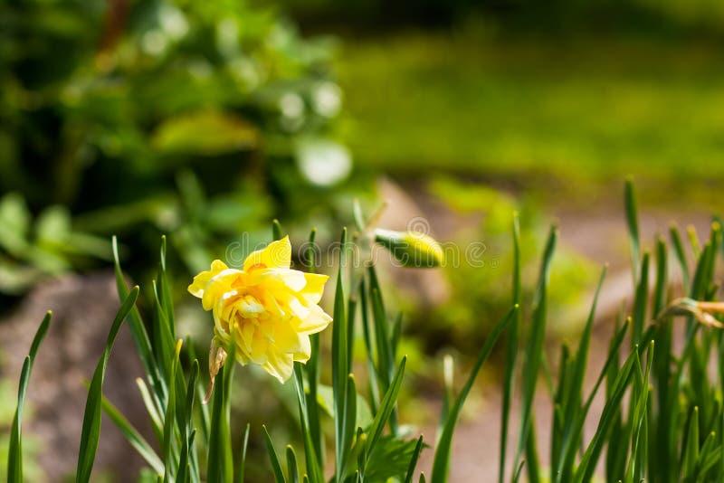 早期的春天黄色黄水仙 黄水仙开花 开花的黄色水仙花 下雨 浅深度  库存图片