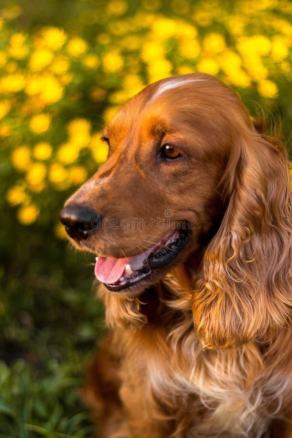 愉快和活跃纯血统狗户外在草在一个晴朗的夏日 库存图片