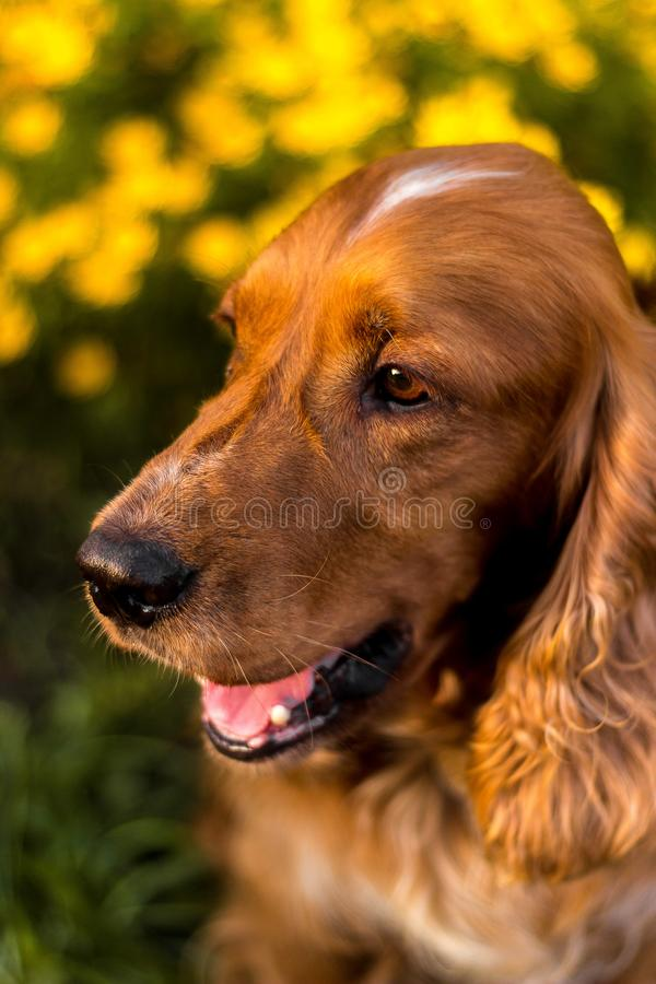 愉快的棕色逗人喜爱的小狗背景画象  与五颜六色的春天叶子的微笑狗在日落 免版税图库摄影