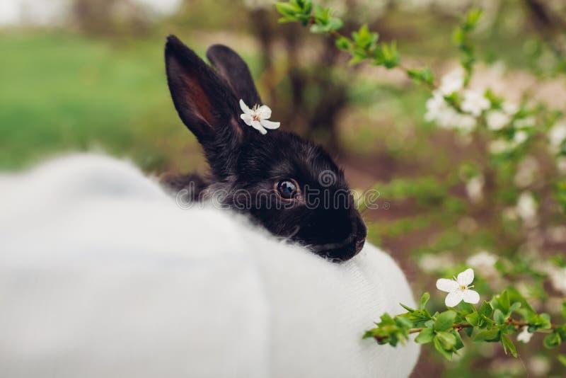 拿着黑兔子的农夫在春天庭院里 与花的小的兔宝宝在坐在手上的头 库存照片