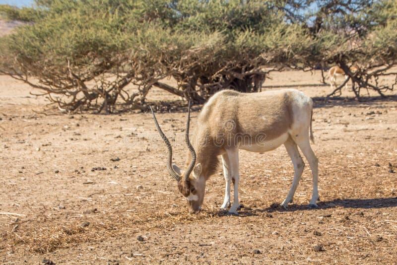 曲角羚羊曲角羚羊nasomaculatus、亦称screwhorn羚羊、白色羚羊或者弯曲的有角的羚羊 免版税库存照片