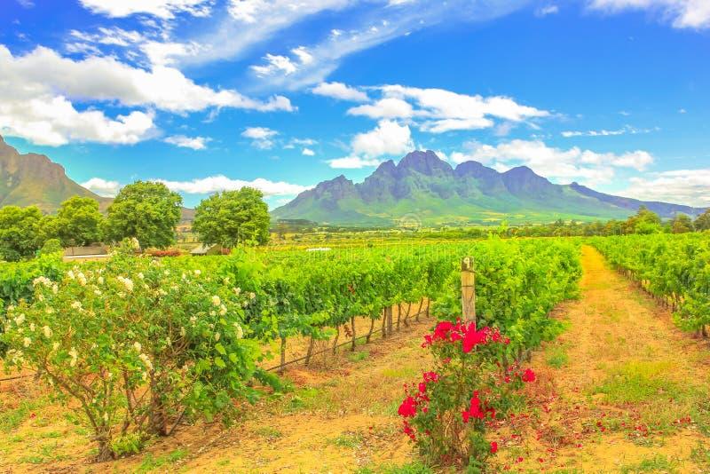 斯泰伦博斯葡萄园南非 免版税库存照片