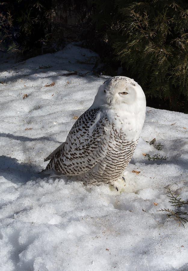 斯诺伊猫头鹰,Nyctea scandiaca,在雪的腹股沟淋巴肿块scandiacus 免版税库存照片