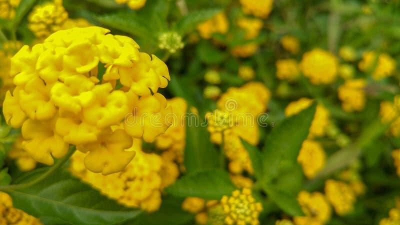 新鲜和美丽的黄色花有自然光背景 免版税图库摄影