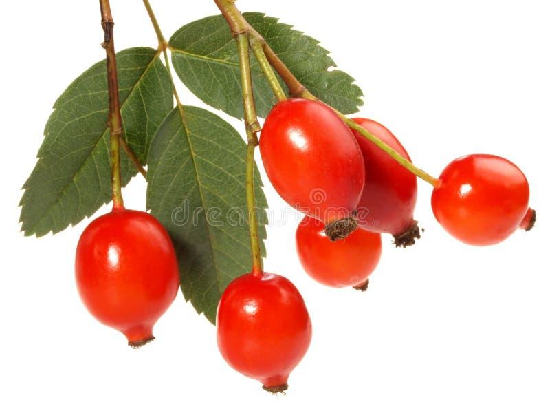 新鲜的野玫瑰果-健康营养 库存图片