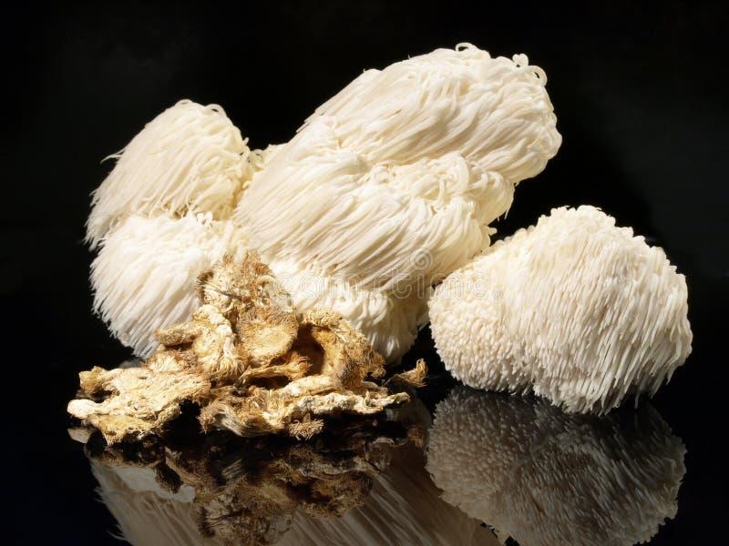 新鲜的Hericium蘑菇-健康营养 库存照片