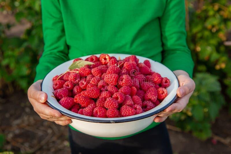 收获莓,特写镜头 有一碗的逗人喜爱的女孩成熟莓在庭院里 免版税库存照片