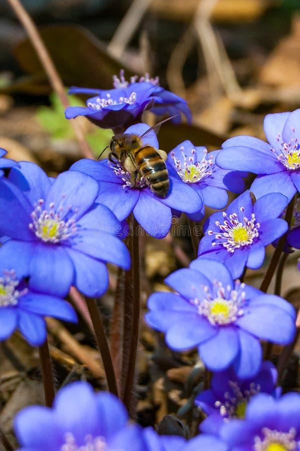 收集花蜜的工蜂宏观特写镜头从在早期的第一朵开花的嫩Hepatica Snowdrop蓝色紫罗兰色花 库存照片