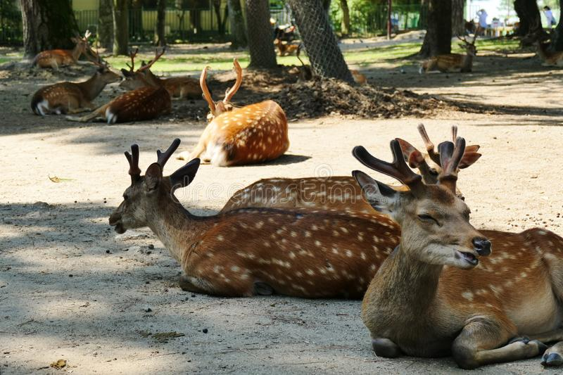放松在阳光下的著名奈良鹿在奈良公园,奈良,日本附近 库存照片