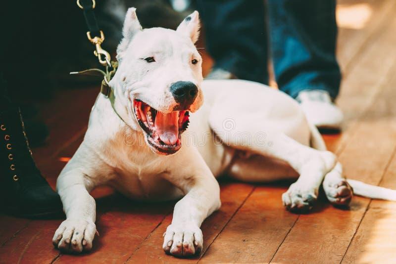 放置在木地板的幼小白色多戈Argentino狗 库存照片