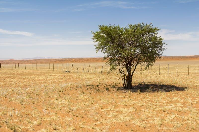 树在纳米比亚的宽沙漠 库存图片